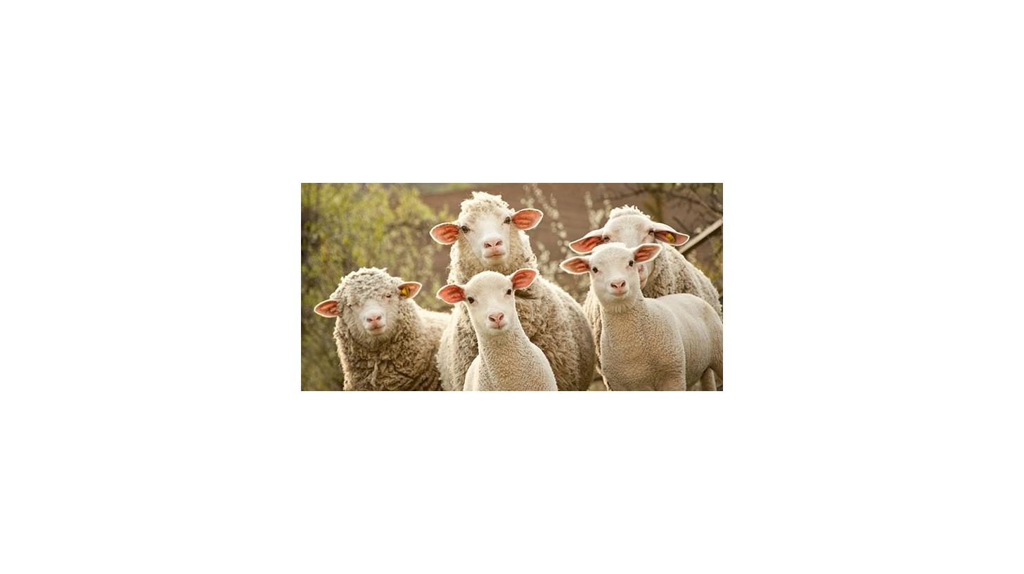La cría de ovejas